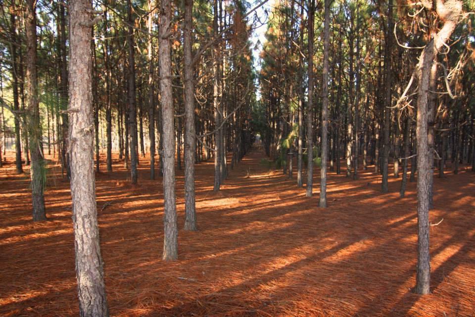 Benefits of Pine Straw Mulch