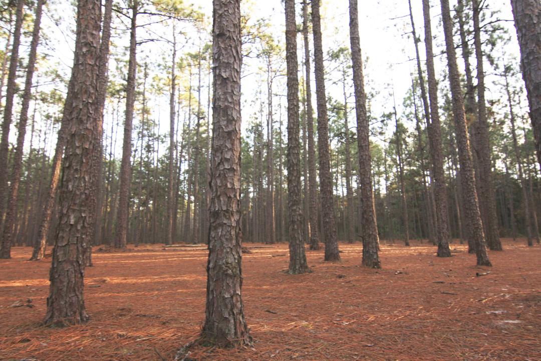 Quality Pine Straw